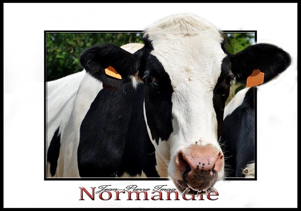 « Oh la vache! » expo photo en Normandie