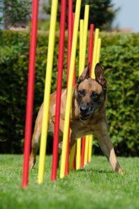 Manque de communication en association canine chouponline slalom